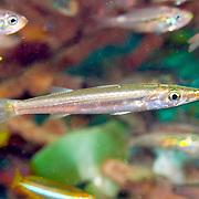 Obtuse Barracuda form schools above coastal reefs. Juvenile.  Picture taken Bali, Indonesia.