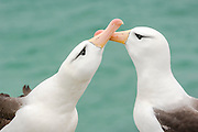 Courting Black-browed Albatross (Diomedea melanophris), Saunders Island, Falkland Islands, South Atlantic Ocean
