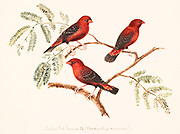 Male Red avadavat (Amandava amandava) [Here as Red avadavit (Amandava amandava)] AKA red munia or strawberry finch, is a sparrow-sized bird of the family Estrildidae. It is found in the open fields and grasslands of tropical Asia and is popular as a cage bird due to the colourful plumage of the males in their breeding season. It breeds in the Indian Subcontinent in the monsoon season. The species name of amandava and the common name of avadavat are derived from the city of Ahmedabad in Gujarat, India, from where these birds were exported into the pet trade in former times. 18th century watercolor painting by Elizabeth Gwillim. Lady Elizabeth Symonds Gwillim (21 April 1763 – 21 December 1807) was an artist married to Sir Henry Gwillim, Puisne Judge at the Madras high court until 1808. Lady Gwillim painted a series of about 200 watercolours of Indian birds. Produced about 20 years before John James Audubon, her work has been acclaimed for its accuracy and natural postures as they were drawn from observations of the birds in life. She also painted fishes and flowers. McGill University Library and Archives