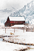 Red Fox hunting alongside a small stream in Jackson Hole, WY.