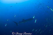 whale shark, Rhincodon typus, swims through spawning aggregation of mutton snappers, Lutjanus analis, in deep water at mid day, Gladden Spit, Belize, Central America ( Caribbean Sea )