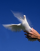 A hand sends off a Flying white dove on blue sky background. A White dove is a symbol of peace