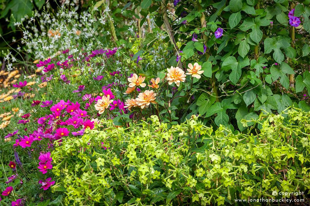 Dahlia 'Apricot Desire' with Cosmos bipinnatus, Nicotiana 'Lime Green' - Tobacco plant - and Gaura lindheimeri Papillon syn 'Nugaupapil'