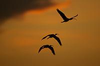 Three Scarlet Ibises (Eudocimus ruber) flying in an orange sky at sunset over the Orinoco River Delta, Venezuela.