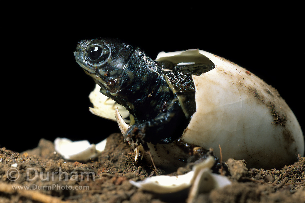 Western pond turtle (Clemmys marmorata) hatching out of its egg. Columbia River Gorge, Washington USA. Temporarily captive/controlled conditions.