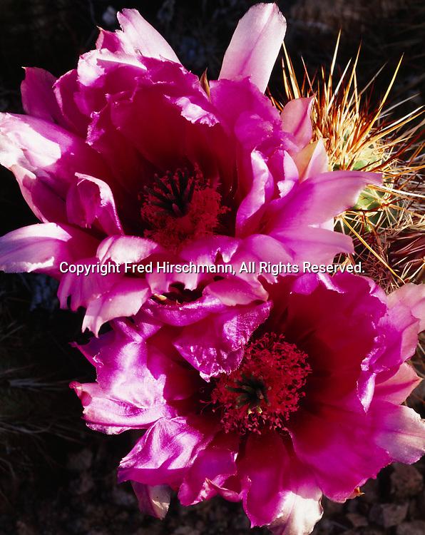 Flower details, hedgehog cactus, Echinocereus engelmannii, Kofa Queen Canyon, Kofa National Wildlife Refuge, Arizona.