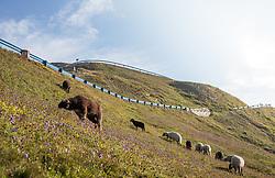 THEMENBILD - eine Schafherde grast auf einer Bergweide. Die Grossglockner Hochalpenstrasse verbindet die beiden Bundeslaender Salzburg und Kaernten mit einer Laenge von 48 Kilometer und ist als Erlebnisstrasse vorrangig von touristischer Bedeutung, aufgenommen am 06. August 2018 in Fusch an der Glocknerstrasse, Österreich // a flock of sheep is grazing on a mountain pasture. The Grossglockner High Alpine Road connects the two provinces of Salzburg and Carinthia with a length of 48 km and is as an adventure road priority of tourist interest, Fusch an der Glocknerstrasse, Austria on 2018/08/06. EXPA Pictures © 2018, PhotoCredit: EXPA/ Stefanie Oberhauser