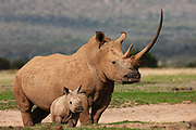 A white rhinoceros female with a long horn (Ceratotherium simum) and its small calf, Solio, Kenya