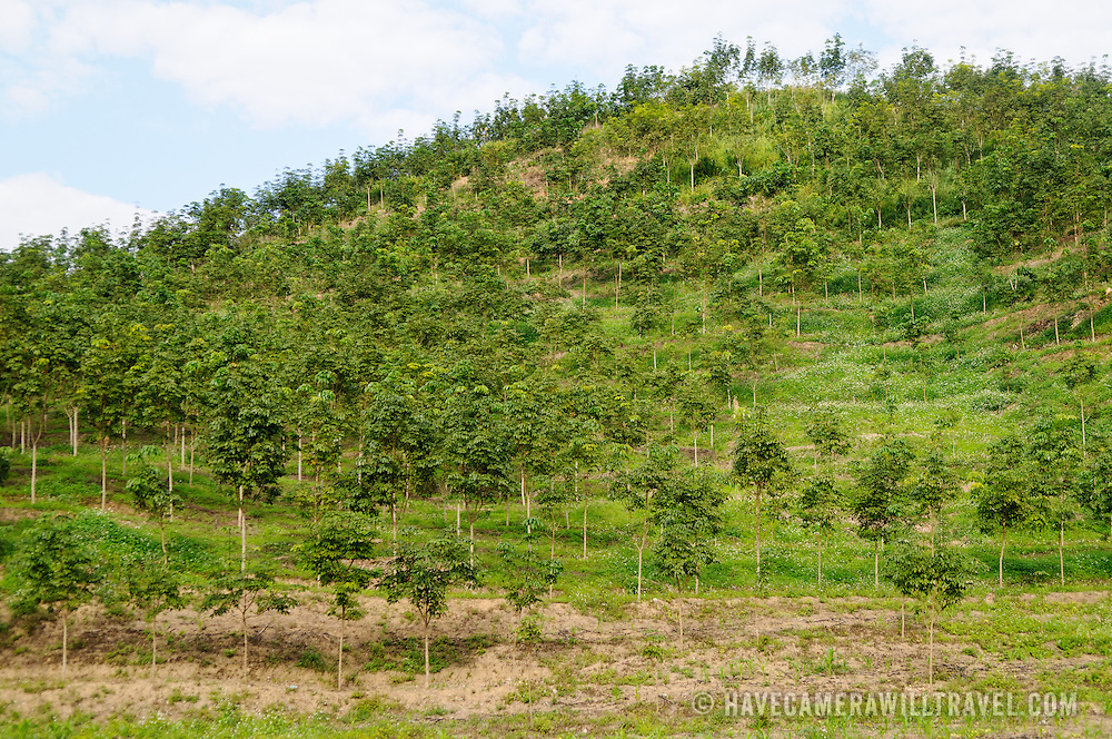 Rubber trees encroach into the Nam Ha Bio-Diversity Conservation Area in Luang Namtha province in northern Laos.