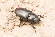 Stag beetle (Lucanus cervus) female. Surrey, UK.