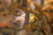 Pajama Cardinalfish.(Sphaeramia nematoptera).Lembeh Straits, Indonesia