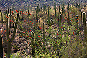 Ocotillo in bloom and saguaro cactus along the Valley Overlook Trail, Tucson Mountain District, Saguaro National Park, Arizona