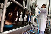 Filipe Carvalho, one of the owners of the company, in the milking parlor.<br /> It is said that Cleopatra always took her bath in donkey milk to keep her beauty eternal. Far beyond the aesthetic benefits, the donkey milk is in the animal world the closest to the human maternal milk and was used as it´s substitute until the twentieth century. More recent findings indicate that the donkey milk can also be consumed by children allergic to cow's milk.<br /> Despite all this, the great utility of the donkey had always been their mobility and strength, with the mechanization of agriculture and the development of transportation, the donkey began to be used less and less. In Portugal, in the twentieth century, a very partircular kind of donkey came in the process of extinction, the race of Miranda.<br /> Four years ago two businessmen in Portugal decided to merge these two factors and create Naturasin, a company dedicated to preserving the kind of Miranda by producing she donkey milk and selling it to the cosmetic industry.<br /> The small farm in Couco a village 100 km from Lisbon is this days selling milk to countries as far away as South Korea, it has 50 she donkeys and in 2011 were born in the farm 17 copies of the endangered species. In Portugal. 20/01/2012 NO SALES IN PORTUGAL