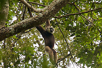 Bornean White-bearded Gibbon (Hylobates albibarbis) adult male.  Hanging by arms in the canopy.