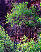 Spring greenery of Velvet Ash, Fraxinus velutina, with wall of Navajo Sandstone beyond, Weeping Rock Trail, Zion National Park, Utah.