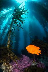 A Garibaldi, Hypsypops rubicundus, patrols among stalks of Giant Kelp at Santa Barbara Island, Channel Islands, California, Pacific Ocean