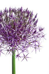 Allium cristophii AGM. Star of Persia