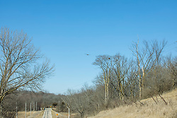 A Red-Tailed Hawk (Buteo jamaicensis) soars over a country blacktop in late winter.