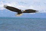 Bald Eagle, Haliaeetus leucocephalus, flying, Kenai Peninsula, Homer Spit, Homer, Alaska. Digitally manipulated, #2006_0186x ©Robin Brandt
