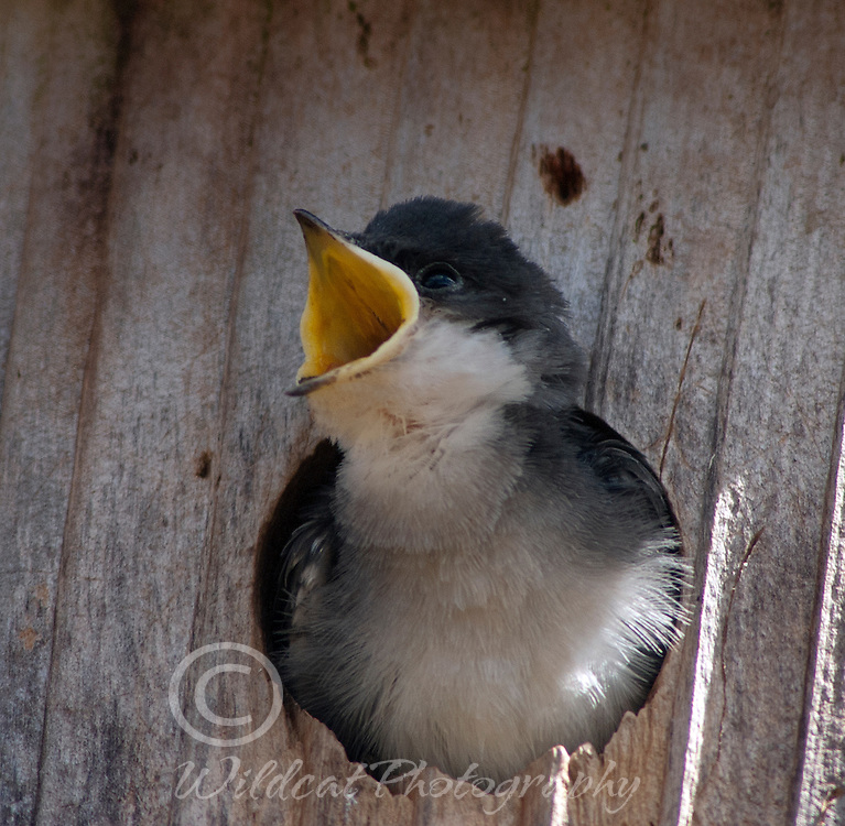 One hungry tree swallow.
