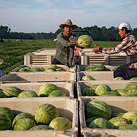 Workers harvest watermelons at Jackson Farming Company in Autryville, NC.