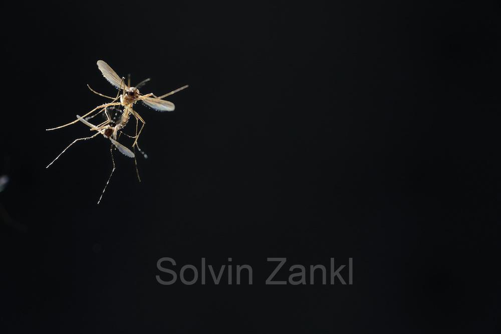 Mating Yellow fever mosquito (Aedes aegypti) is the vector for transmitting Zika virus, yellow fever virus and dengue fever.   Bernhard Nocht Institute for Tropical Medicine; (BNI). Hamburg, Germany | Paarungsflug der Gelbfiebermücke (Aedes aegypti). Die Gelbfiebermücke (Aedes aegypti) kann unterschiedliche Viruserkrankungen übertragen, darunter Gelbfieber, Dengue-Fieber und Zika-Fieber. Sie wird auch Denguemücke oder Ägyptische Tigermücke genannt. Die Stechmücke kommt nur in den Tropen und Subtropen vor. Bernhard-Nocht-Institut für Tropenmedizin, Hamburg, Deutschland