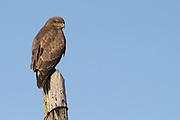 Buzzard (Buteo buteo) atop a telegraph pole. Dorset, UK.