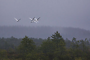 Four whooper swans flying over raised bog in late november, Photo by Davis Ulands | davisulands.com