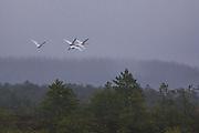 Four whooper swans flying over raised bog in late november, Photo by Davis Ulands | davisulands.com