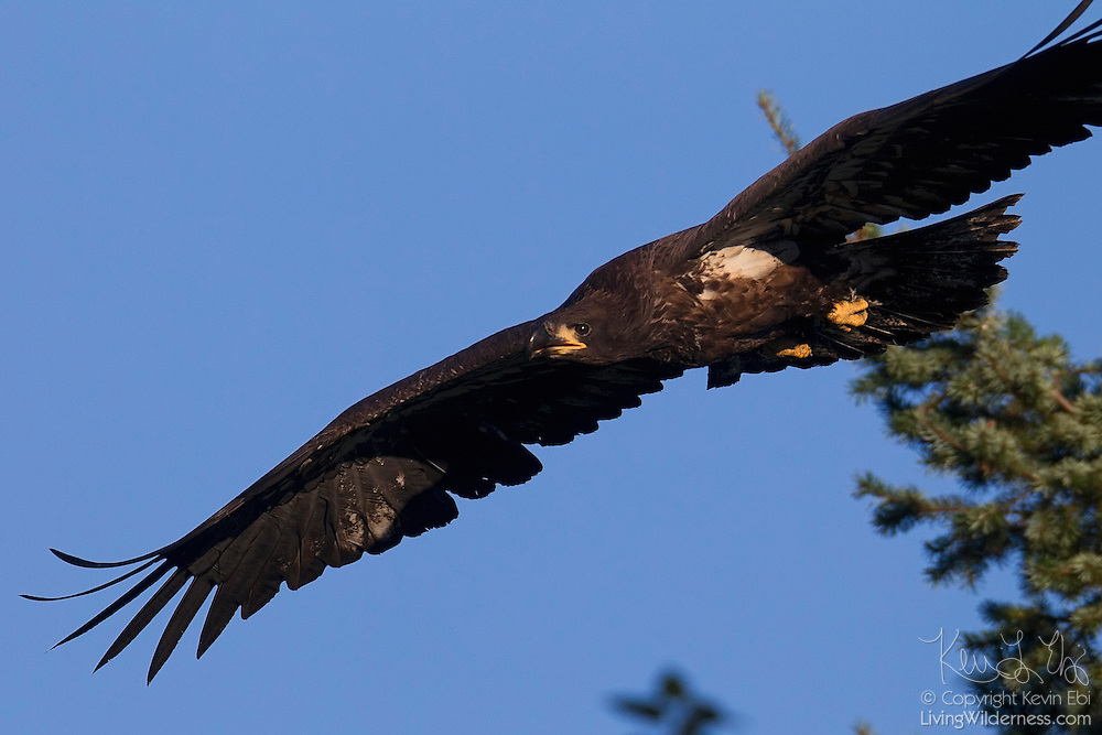 A bald eagle (Haliaeetus leucocephalus) fledgling flies from its nest. At the time of this image, the juvenile eagle was less than three months old and had been flying for about two weeks.