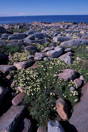 Wildflowers, Mountain Avens on tundra. Manitoba. Canada.