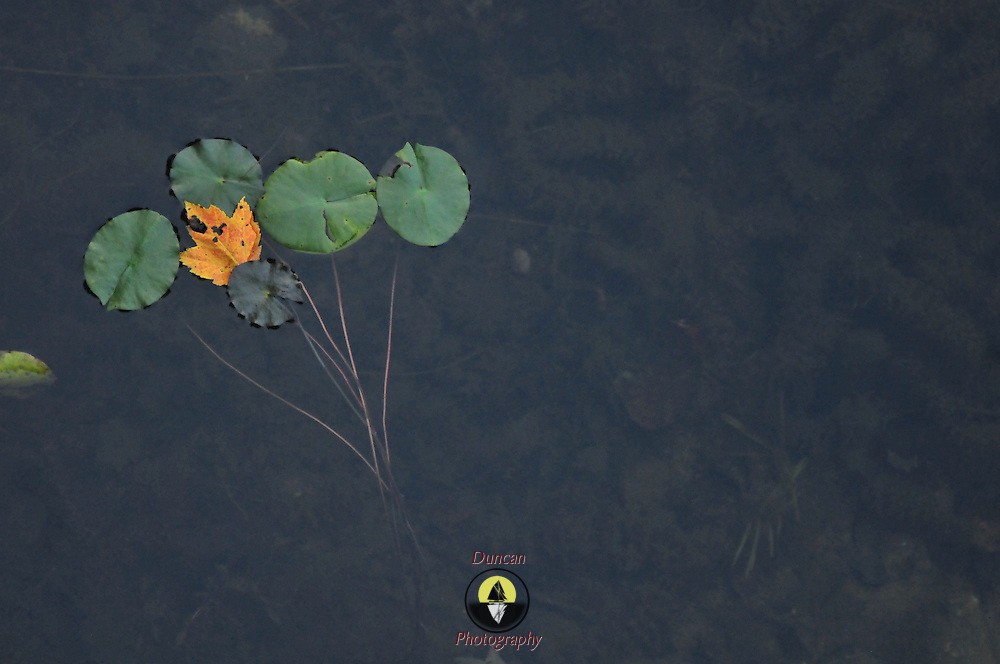9/30/10 -- Acadia National Park, Maine. Little Long Pond - water lillies.  Country Walkers Sept 26 2010 tour.   Photo by Roger S. Duncan.
