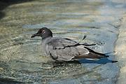 Lava gull (Leucophaeus fuliginosus) bathing<br /> Tower Island<br /> Galapagos<br /> Ecuador, South America<br /> ENDEMIC