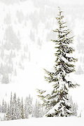 tall thin Subalpine Fir in a snowstorm at Paradise Valley, Mount Rainier National Park, Washington, USA