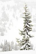 tall thin Subalpine Fir in a snowstorm at Paradise Valley, Mount Rainier National Park, Washington, USA