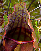 Pitfall trap of a Pitcher Plant showing the mouth, peristome (rolled lip) and the operculum (hood).