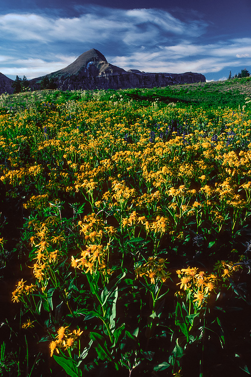 Wildflowers along ther Teton Divide Trail, summer, Grand Teton National Park, Wyoming, USA