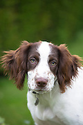 Springer Spaniel dog with brown markings in England
