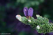 New cones were beginning to grow on the subalpine firs along the Silver Forest Trail.