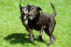 A playful Black and Tan mongrel dog chases and play fights with a Chocolate Brown Labrador for a small toy ball in a local Park<br /> <br /> 16th August 2010<br /> <br /> Image Copyright Paul David Drabble
