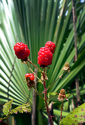 02 June 2014. Jean Lafitte National Historic Park, Louisiana.<br /> Wild blackberries ripening in the swamp at the Barataria Preserve wetlands south or New Orleans.<br /> Charlie Varley/varleypix.com
