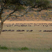 Wildebeest (Connochaetes taurinus) During migration in Serengeti National Park. Tanzania. Africa. February.