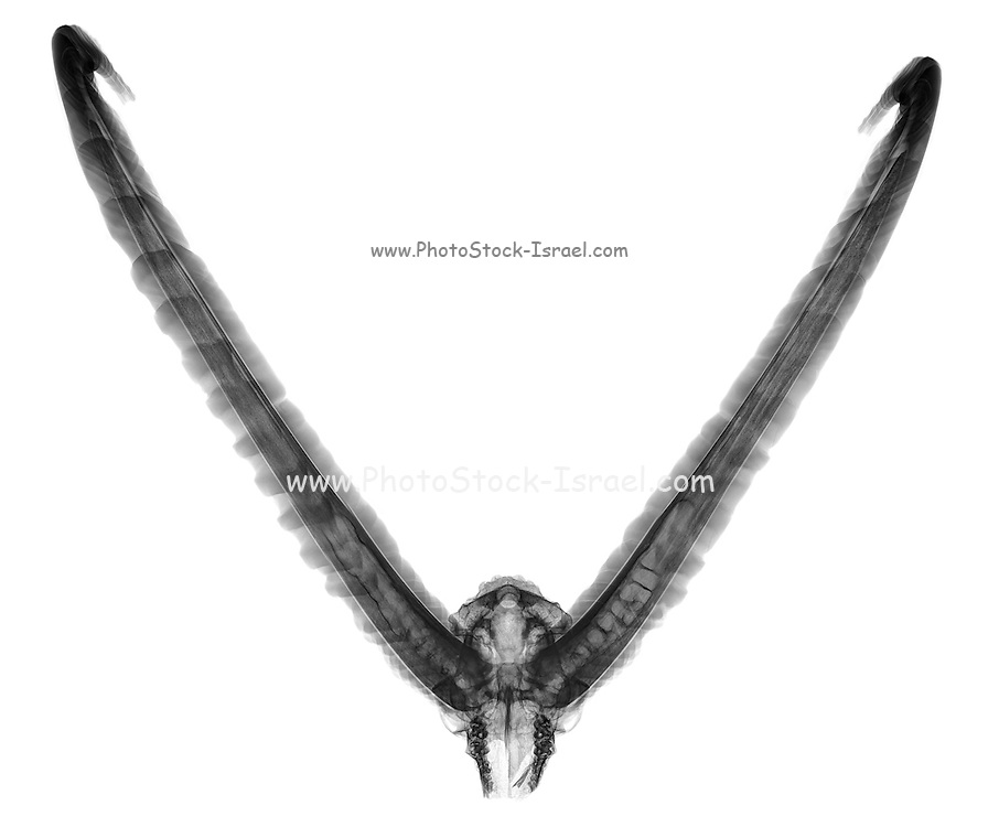 X-ray of a skull of an Ibex on white background