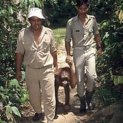 Orangutan, (Pongo pygmaeus) Ranger escort adult back to Rehabilitaion Center. Borneo. Malaysia. Controlled Conditons.
