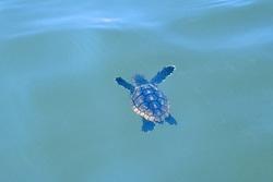 Loggerhead Hatchling In Water