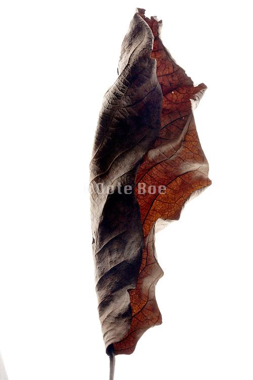 autumn curled brown leaf