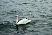 """A swan glides along over the waves of Traunsee (Lake Traun) in Gmunden, Austria.  In the poem, """"Auf dem Wasser zu singen,"""" the poet refers to the boat which  glides like the swan."""
