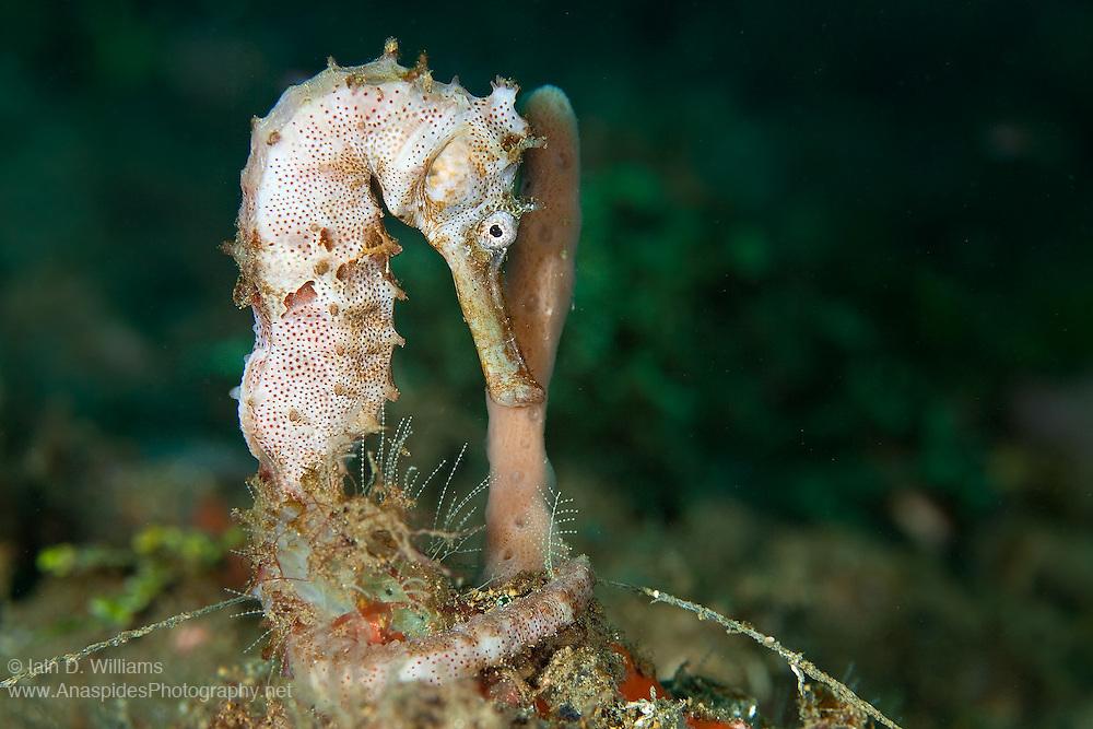Smooth Seahorse (Hippocampus kampylotrachelos) - Indonesia