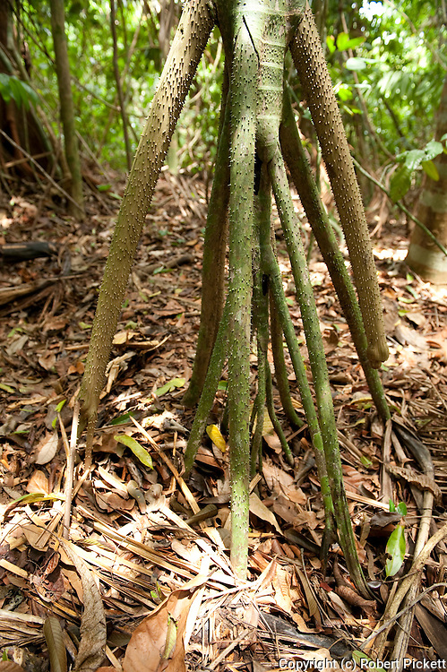 Walking Tree, Fig Species, Ficus sp, Panama, Central America, Barro Colorado Island, roots can move over forest floor