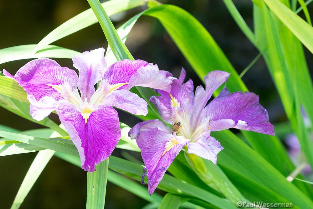 Shreve's Iris
